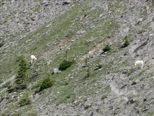 Goats at Old Goat Glacier